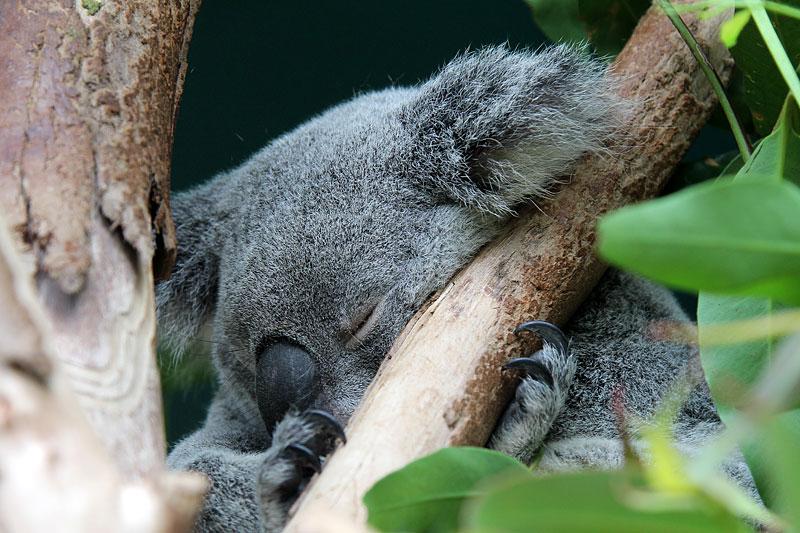 2015-zoo-koala-0