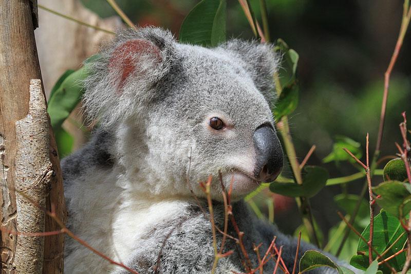 2015-zoo-koala-1