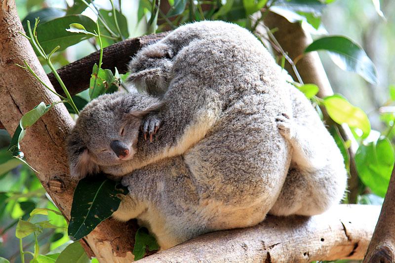 2015-zoo-коала-2