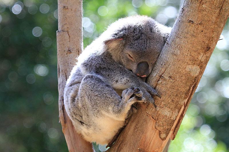 2015-zoo-koala-3
