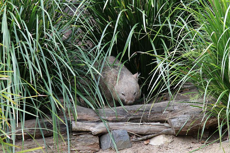 2015-zoo-вомбат-1